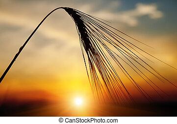 soir, blé, mûre, arrière-plan soleil, oreilles