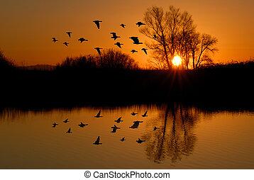 soir, canards