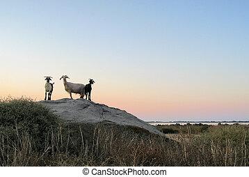 soir, chèvres, temps