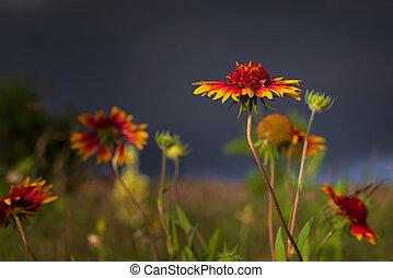 soir, tôt, wildflowers, orage, texas, avant