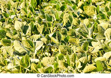 soja, champ, haricot, plante