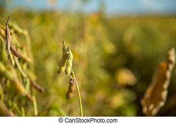 soja, plantación