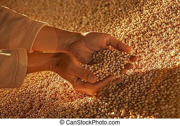 soja, seeds., mãos humanas