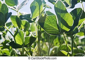 soja printemps plante agriculture usines printemps photographie de stock rechercher. Black Bedroom Furniture Sets. Home Design Ideas