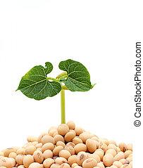 sojabohne, pflanzenkeim, freigestellt, weiß, hintergrund