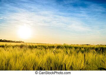 sol, armando, sobre, um, campo, de, ripening, trigo