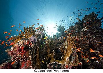 sol, coral, océano