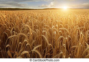 sol, en, el, campo de trigo