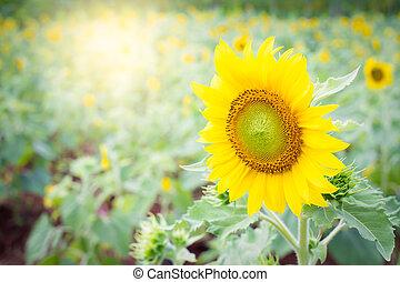 sol, flores, jardín