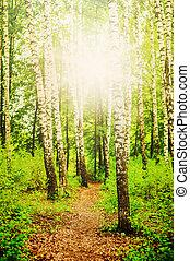 sol, floresta, vidoeiro