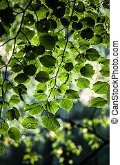 sol, folhas, levantar, vidoeiro