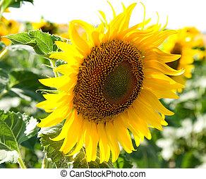 sol grande, flor