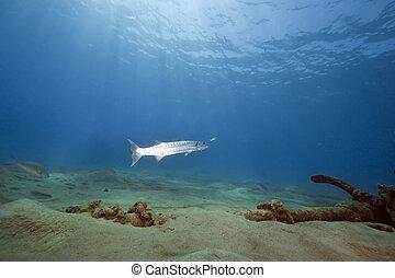 sol, grande, océano, barracuda