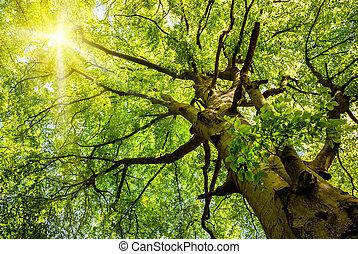 sol lysande, genom, en, gammal, bokträd