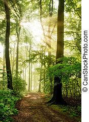 sol manhã, brilhar, em, a, nebuloso, floresta