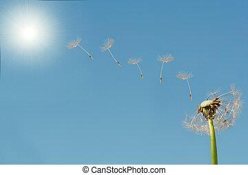 sol, maskros, flygning, frö