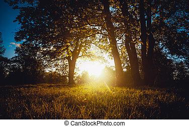 sol noite, árvores, através, floresta, brilhar