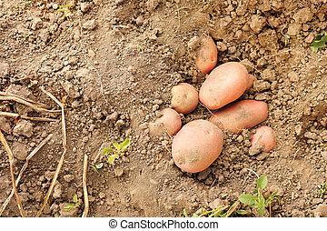 sol, pommes terre rouges