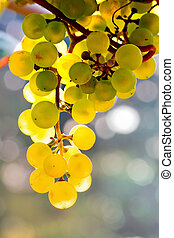 sol, videira, amarela, luminoso, uvas, crescendo