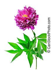 sola flor, peonía
