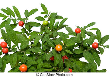 Solanum - bush of red decorative poisonous peppers