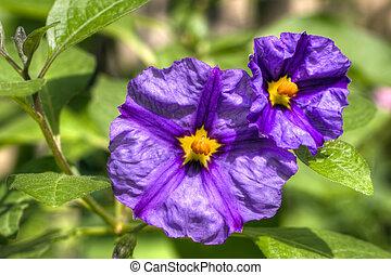 solanum flowers hdr