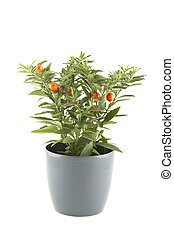 Solanum pseudocapsicum. isolated - Close-up of the plant in...