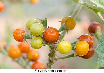 Solanum sanitwongsei, Herb for treatment cough and sore...