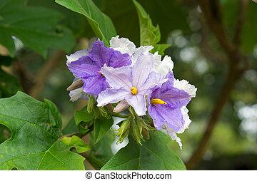 Solanum wrightii Benth