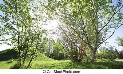 Solar flare in birch trees. Dolly shot.