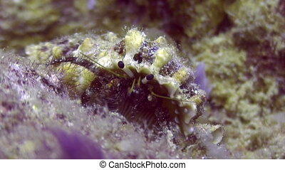 Soldier-crab in shell underwater on deep sea eats food in ocean of Philippines.