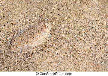 Sole fish on the sand bottom - Close up underwater photo of ...