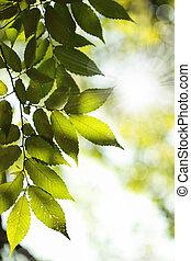 sole, foglie, verde, raggi