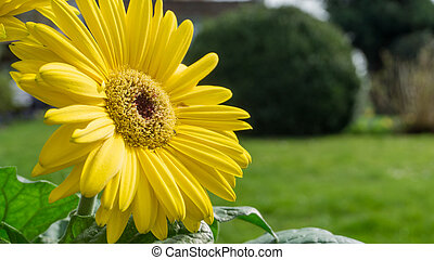 sole, giardino fiore, giallo, gerbera