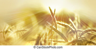sole, orzo, campo, panorama