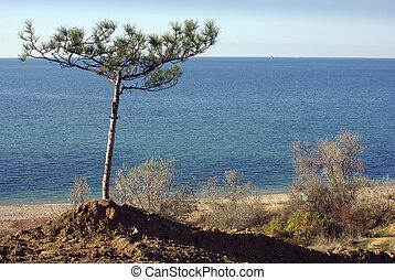 sole pine tree on a beach