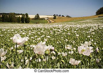 soleado, campo, verde, amapolas, blanco, día