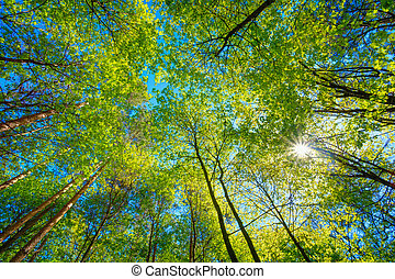 soleado, dosel, de, alto, árboles., luz del sol, en, caduco,...