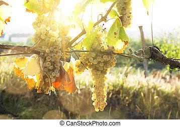 soleado, viñas, otoño, cosecha