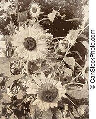 soleggiato, vendemmia, fiori, sepia, retro