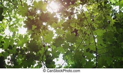 soleil, bien, vert, feuilles érable, filtrage