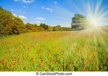 soleil, fleurs, pavot, champ, matin
