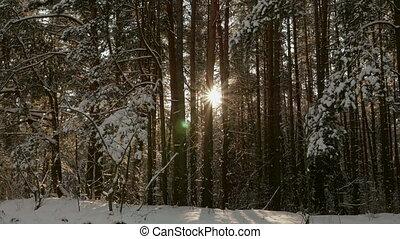 soleil, forêt, hiver
