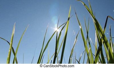 soleil, herbe, vert