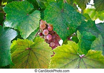 soleil, vigne, raisins, tas