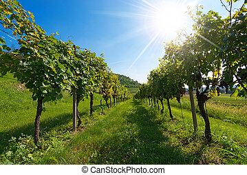 soleil, vignobles, rayons, italien