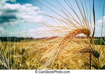 solfyldt, gylden, hvede, dag, felt