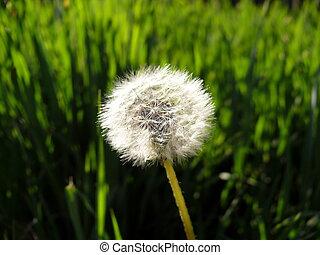 solidão, dandelion