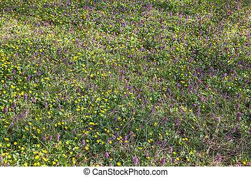 solida, plante, palustris), corydalis, sping, général, forest., marais, fleurir, souci, (caltha, vue
