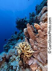solida, tropical, porites, sea., arrecife, rojo